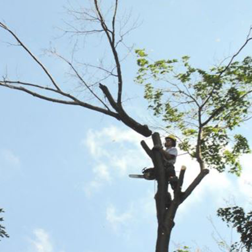 Man In a Tree With a Chainsaw